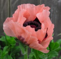 An Asian poppy.  I thought that I had one in my garden, but it hasn't appeared yet.
