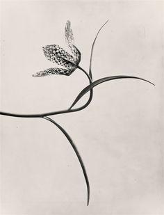 Pflanzenformen, Photo by Karl Blossfeldt, Karl Blossfeldt, Still Life Photography, Nature Photography, Product Photography, Fashion Gone Rouge, Couple Art, Natural Forms, Op Art, Botanical Illustration