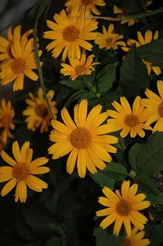 Tuscan Sun False Sunflower (Heliopsis helianthoides 'Tuscan Sun') at Stein's Garden