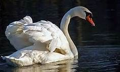 Swan: Awakening the true beauty and the power of the Self.