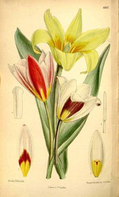 4401 Tulipa kaufmanniana Regel / Curtis's Botanical Magazine, vol. 112 [ser. 3, vol. 42]: t. 6887 (1886) [M. Smith]
