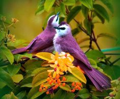 Image detail for -Pretty nameless birds - birds, pair, purple and white, trees, yellow ...