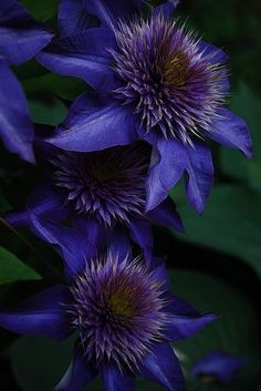 Blue Clematis - Flowers on Black Background Unique Flowers, Exotic Flowers, Amazing Flowers, Purple Flowers, Beautiful Flowers, Yellow Roses, Pink Roses, Clematis Flower, Clematis Vine