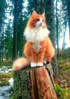 Long orange fur cat