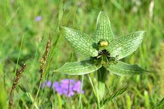 Geoblasta pennicillata, Orquídea terrestre de Tandil