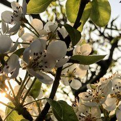 La caricia de la cálida luz del atardecer... . #primavera #arbol #frutal #sol #luz #atardecer #calidez #jardin #donostia #sansebastian #gipuzkoa #paisvasco #paysbasque #basquecountry