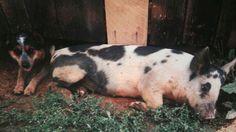 My Blue Heeler Katie & my pet pig