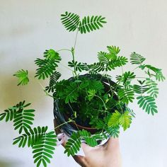Grünpflanzen Mimosa pudica World Guide to Indoor Plants Tips for Buying the Right Mattress Do you wa Indoor Garden, Indoor Plants, Hanging Plants, Mimosa Plant, Diy Plante, Decoration Plante, Plant Guide, Plants Are Friends, Landscaping