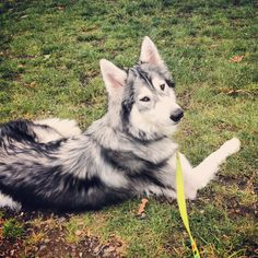 Wolfdog Shi relaxing at the park.