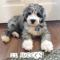 11 week old aussiedoodle puppy