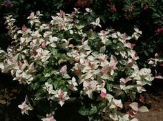 13 Best Groundcovers Images In 2017 Outdoor Plants