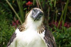 The Iconic Philippine Monkey-eating Eagle ~ Amazing Animals