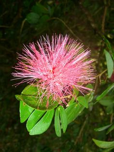 Lehua Blossom  This flower is sacred to laka the goddess of hula and Pele the volcano goddess
