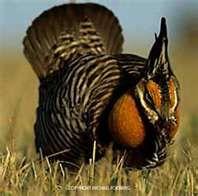 Hunting grouse  in  the sandhills of Nebraska