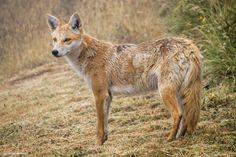 coyote_irazu1.jpg (4895×3263)
