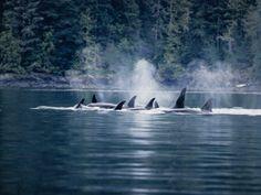 Orca whale watching - San Juan Island, WA
