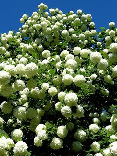 Exquisite capture and lighting of this gorgeous snowball bush Will