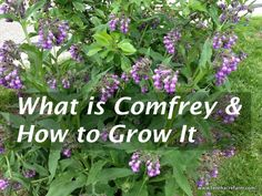 Composting Hacks Comfrey is a prolific perennial herb that is a favorite of the permaculture practitioner. Comfrey attracts beneficial insects and provides fertilizer for the garden. Healing Herbs, Medicinal Plants, Shade Garden, Garden Plants, Fruit Garden, Garden Beds, House Plants, Organic Gardening, Gardening Tips