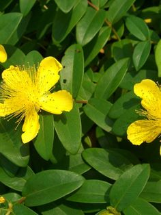 Uses & Benefits of St. John's Plant – The Complete Guide to Natural HealingSt. John's Plant – The Complete Guide to Natural Healing Somerset Garden, Dry Shade Plants, Shady Lady, Plant Identification, Plant Pictures, Winter Garden, Natural Healing, Evergreen, Shrubs