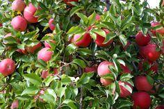 Raw Apple Cider Vinegar:: A Nutrition Superstar