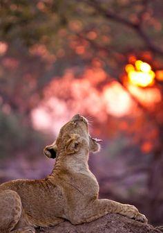 The lion sleeps tonight Beautiful Creatures, Animals Beautiful, Cute Animals, Wild Animals, Jungle Animals, Baby Animals, I Love Cats, Big Cats, Gato Grande