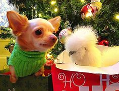 Penny the chicken was in an experiment that had run it's course. Roo the Chihuahua was found shivering in a ditch, probably abandoned  by breeders as he was born without fully developed front legs.