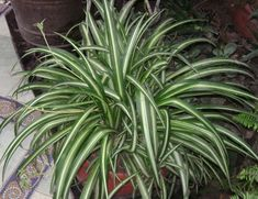 Spider Plant: this plant can remove up to 90 percent of the toxins in your indoor air. Top 10 NASA Approved Houseplants for Improving Indoor Air Quality Inside Plants, Cool Plants, Indoor Garden, Indoor Plants, Plantas Indoor, Water From Air, Chlorophytum, Spider Plants, Office Plants