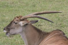 Elands en el parque de la naturaleza de  #Cabarceno #Cantabria #Spain