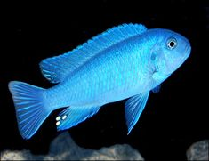 A beautiful mature female Socolofi Mbuna from Lake Malawi. To see more click on ... www.AquariumFish.net/catalog_pages/cichlids_african/mbuna_cichlids_table.htm#2185