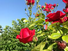 Mantili Serron (roses my village)