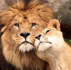 Complete admiration for her Lion Big Cats, Cats And Kittens, Cute Cats, Beautiful Lion, Animals Beautiful, Lion Pictures, Animal Pictures, Animals And Pets, Cute Animals
