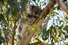 Koala-Mamas – 24/7-Transporteurinnen.  Blog: https://www.bringhand.de/blog/index.php/2015/07/23/tierisch-gute-transporteure/