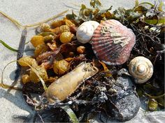 Seashells, seaweed, and mermaids purse washed up on a sandy beach