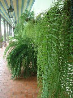 Samambaias #Plantascolgantes