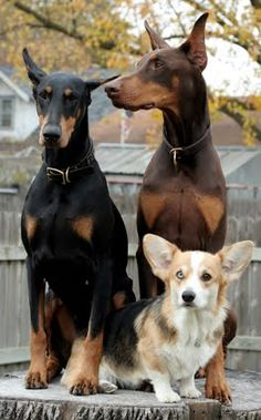 One day I will have a set of dobies who will have a corgi best friend