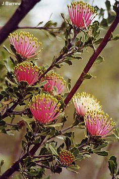 Banksia cuneata - Australian native plants - Another! Australian Wildflowers, Australian Native Flowers, Australian Plants, Unusual Flowers, Amazing Flowers, Beautiful Flowers, African Plants, Australian Native Garden, Exotic Plants