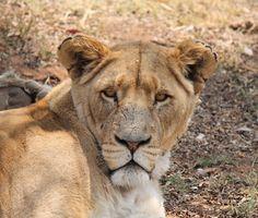 Lioness at Lion Park Johannesburg - SA