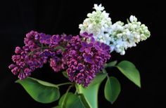 To get an exact color match from lilacs, starting from cuttings is your best bet.