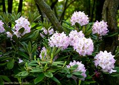 One of the Finnish hardy Rhododendrons... 'Pohjola's Daughter'