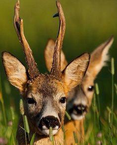 Stunning picture from @oneandshothunting of this roe buck and doe  #deerhunter #jagd #jäger #hunting #hunt #hunters #huntingseason #huntinglife #huntinggame #rotwild #hirsch #kahlwild #reddeer #rudel #rehwild #rehbock #kitz #sauen #schweine #keiler #schwarzwildfieber #jaktforlivet #ansitz #passion #nature #waidmannsheil #waidwerk by deer.hunter