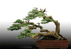 ... plants bonsai idea penjing tree bonsai exotic pure bonsai windswept