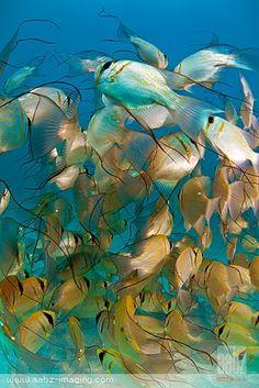 Threadfin Pearl Perches at Ningaloo Reef, W Australia ~ by aabzimaging - fish - SEALIFE Fauna Marina, Life Under The Sea, Beneath The Sea, Life Aquatic, Underwater Life, Ocean Creatures, Sea Fish, Mundo Animal, Sea And Ocean