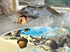 Scrat really does exist ....
