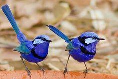 "Michaela Newman called this pic: ""Splendid Fairy Wrens having a boys day out"" Small Birds, Colorful Birds, Little Birds, Pretty Birds, Beautiful Birds, Animals Beautiful, Animals And Pets, Cute Animals, Australian Parrots"