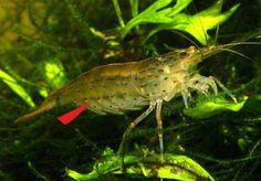 Breeding Yamato (Amano) shrimp – Mikes Whatever Home Aquarium, Aquarium Fish, Amano Shrimp, Underwater World, Fish Tank, Fresh Water, Vand, Animals, Aquariums