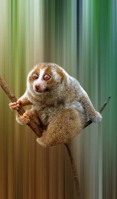 Sunda slow loris - Nycticebus coucang (Primates - Lorisidae) °