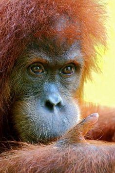 Sumatran Orangutans Dying As Fires Burn Today after several weeks of legal… Sumatran Orangutan, Chimpanzee, Orangutans, Primates, Mammals, Beautiful Creatures, Animals Beautiful, Cute Animals, Wildlife Photography