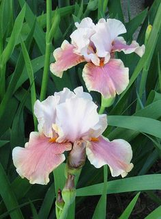 The Tall bearded Cameo Wine Iris a soft pastel pink with slight bluish hue at midrib; deep rose pink, deepening toward hafts, lighter at edge; light burnt tangerine beard. (Snow Peach  Martinique Embassadora.