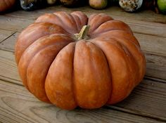 Can't wait to grow these this year! My favourite French Cinderella Pumpkin aka. Rouge Vif D'etampes (excellent pumpkin for baking/soups). Glass Pumpkins, Painted Pumpkins, Fall Pumpkins, Grow Pumpkins, Harvest Time, Fall Harvest, Harvest Season, Squash Seeds, Cinderella Pumpkin