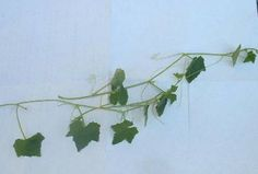 creeping cucumber identification and control http://www.walterreeves.com/gardening-q-and-a/creeping-cucumber-identification/